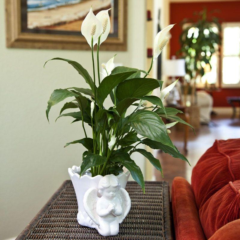 Спатифиллум купить цветок