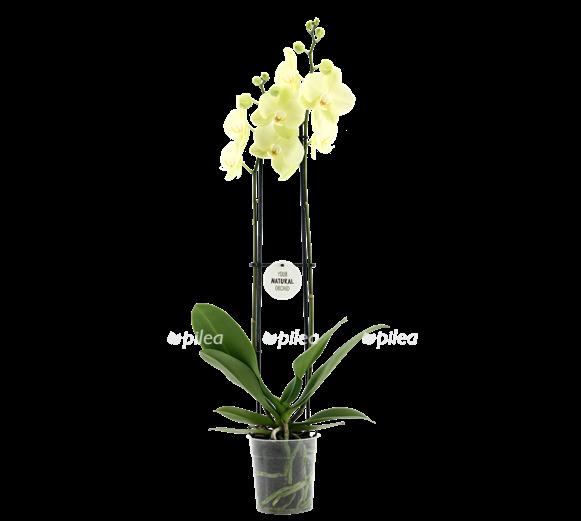 Купить Орхидея Фаленопсис Феррара
