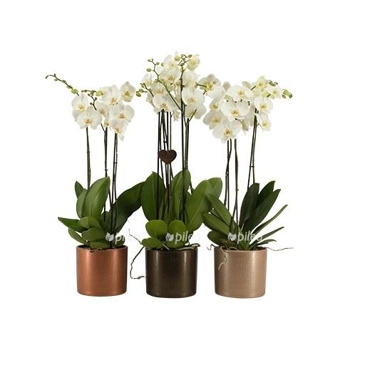 Купить Орхидея Фаленопсис Дуэтто белый 3 ствола