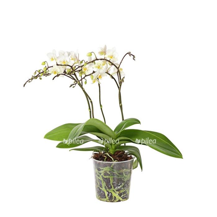 Купить Орхидея Фаленопсис Дикий белый