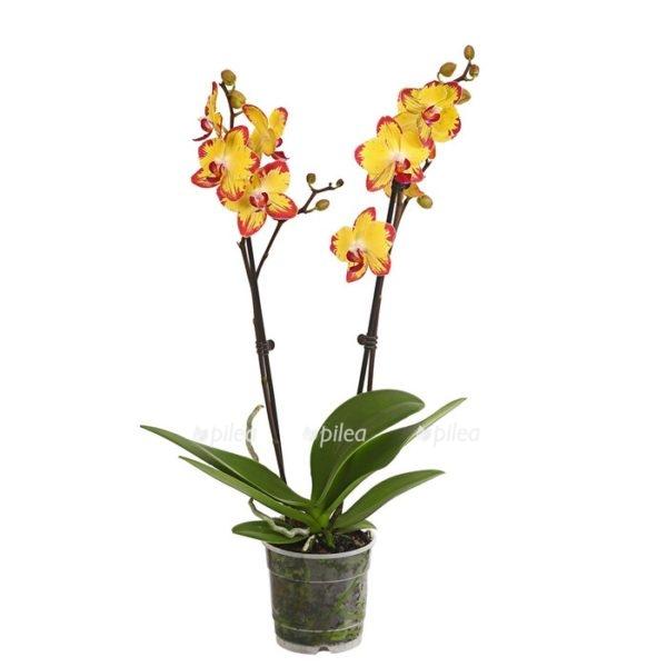 Купить Орхидея Фаленопсис Папагойо 2 ств