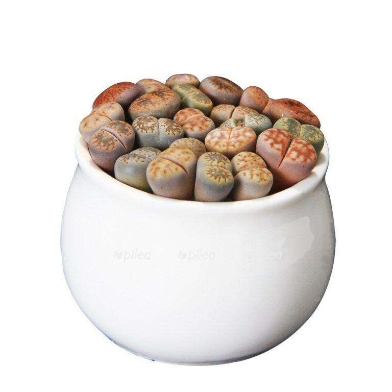 Литопс «Живые камни» Люкс