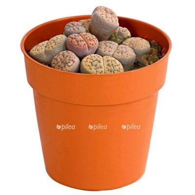 Купить Литопс «Живые камни»