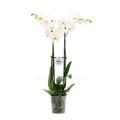 Купить Орхидея Фаленопсис Кембридж