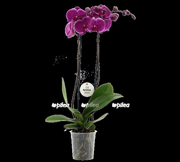 Купить Орхидея Фаленопсис