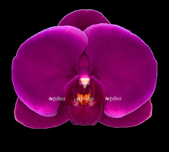 Купить Орхидея Фаленопсис Парпл Джевел 2 ств