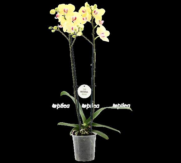 Купить Орхидея Фаленопсис Лаймлайт 2 ств