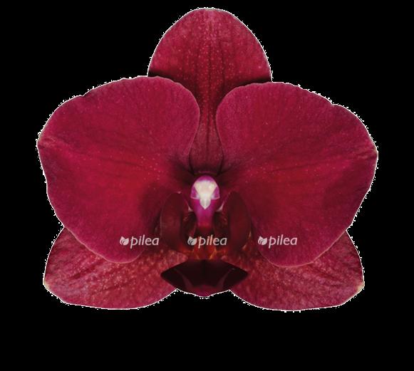 Купить Орхидея Фаленопсис Ола 2 ств