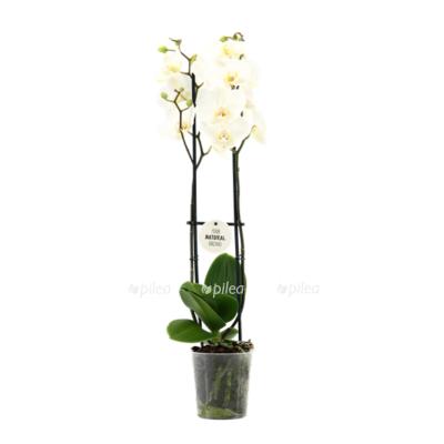 Купить Фаленопсис белый 2 ствола 90 см