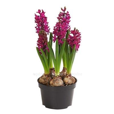 Купить Гиацинт Амарантово Пурпурный