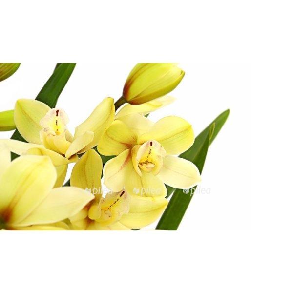 Орхидея Цимбидиум Микс 3-4 ствола