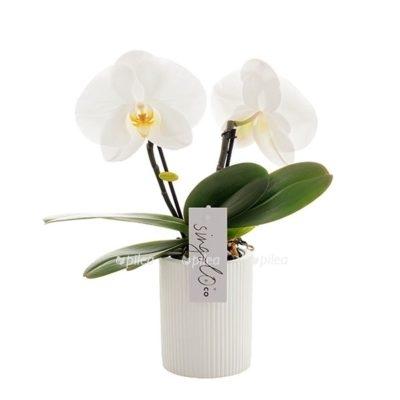 Купить Фаленопсис Синголо Белый в керамике
