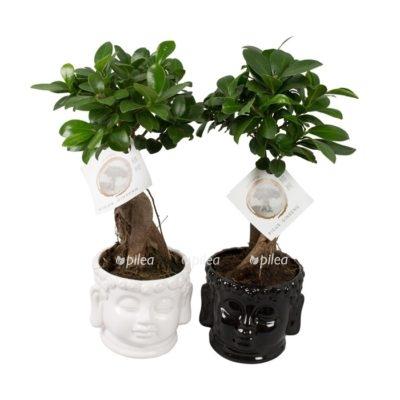 Купить Фикус Микрокарпа Гинсенг в керамике Будда