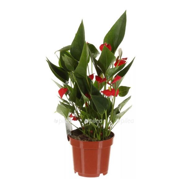 Купить Антуриум Андрианум Миллион Цветов Красный