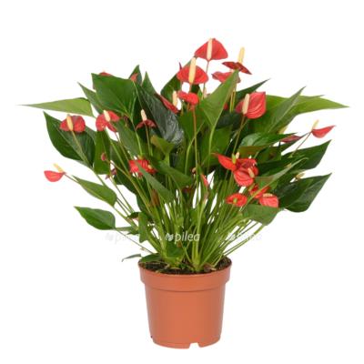 Купить Антуриум Андрианум Миллион Цветов