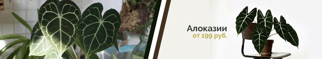 Горшечные растения дешево: Алоказия