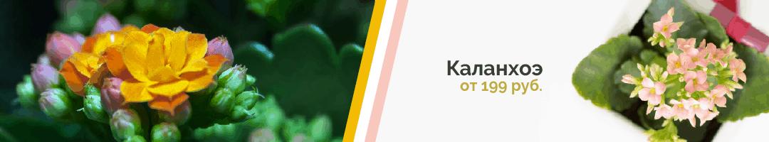 Горшечные растения дешево: Каланхоэ