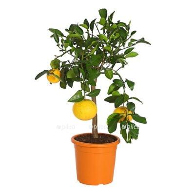 Купить Грейпфрутовое дерево
