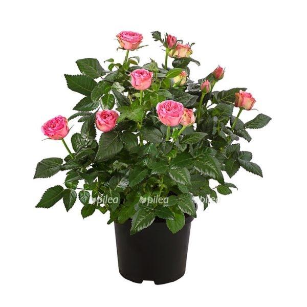 Купить Роза Кордана