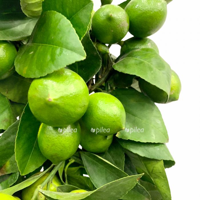 Цитрофортунелла Лимон на решетке