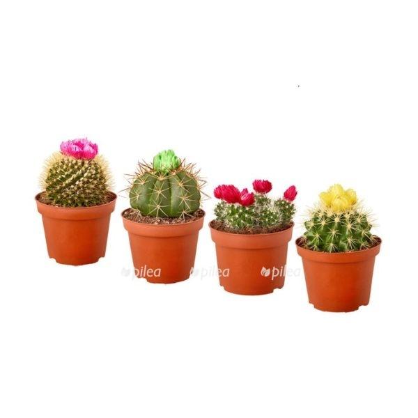 Купить Кактус с сухоцветом