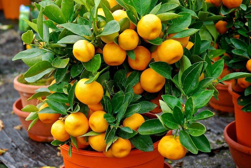 Цитрусовые растения купить