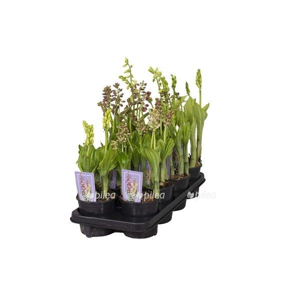 Купить Орхидея Каланта