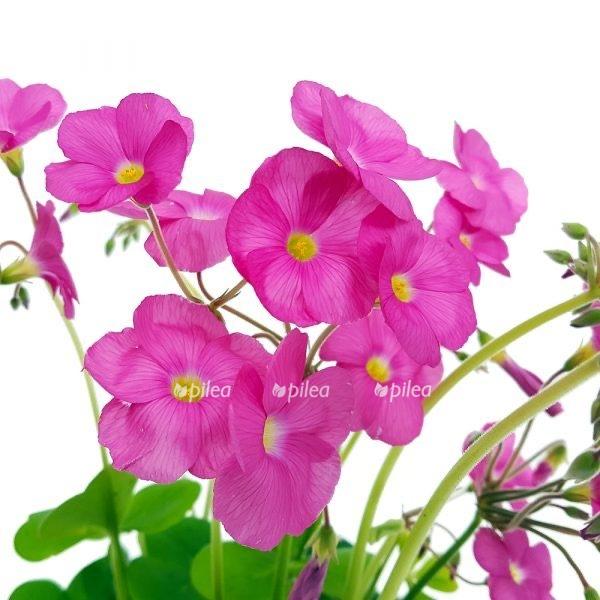 Купить Оксалис Амаранта розовый