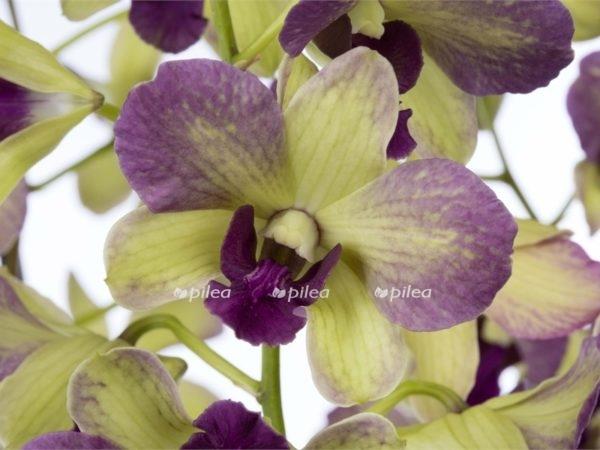 Орхидея Дендробиум Санок Терра Самбо