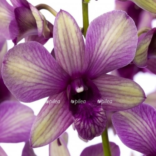 Орхидея Дендробиум Санок Полар Файр