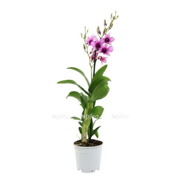 Купить Орхидея Дендробиум Санок Полар Файр