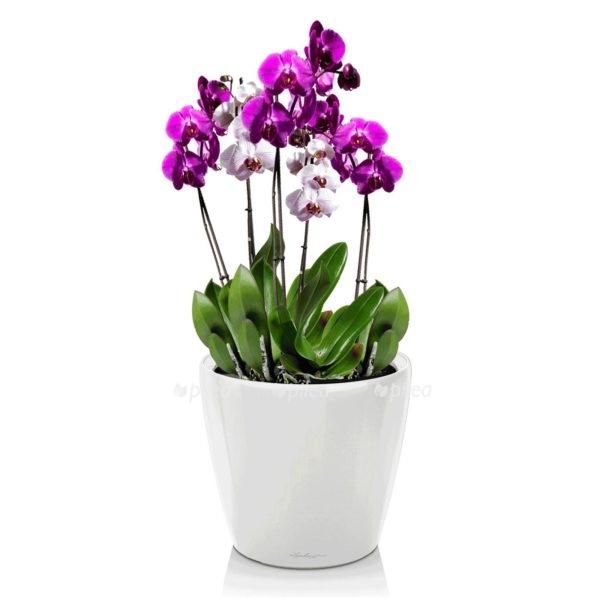 Орхидея Фаленопсис в CLASSICO LS 21
