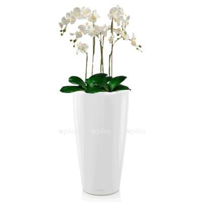 Орхидея Фаленопсис в RONDO