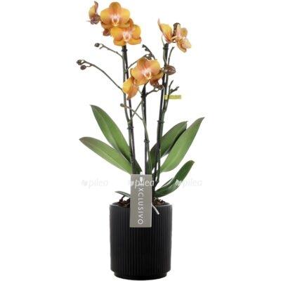 Купить Орхидея Фаленопсис Лас Вегас