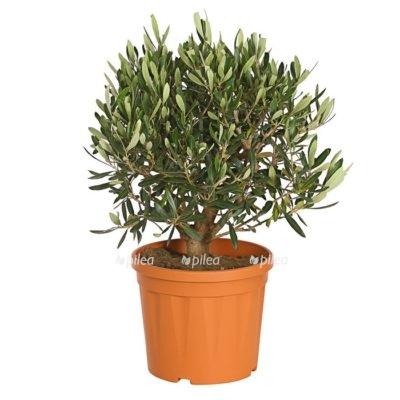 Оливковое дерево куст