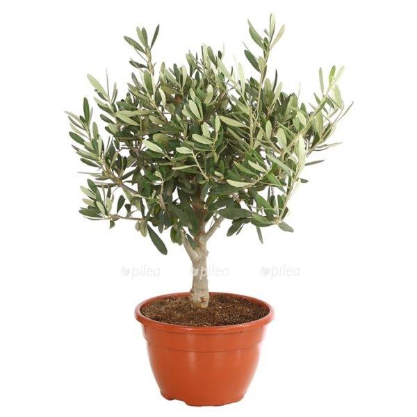 Купить Оливковое дерево