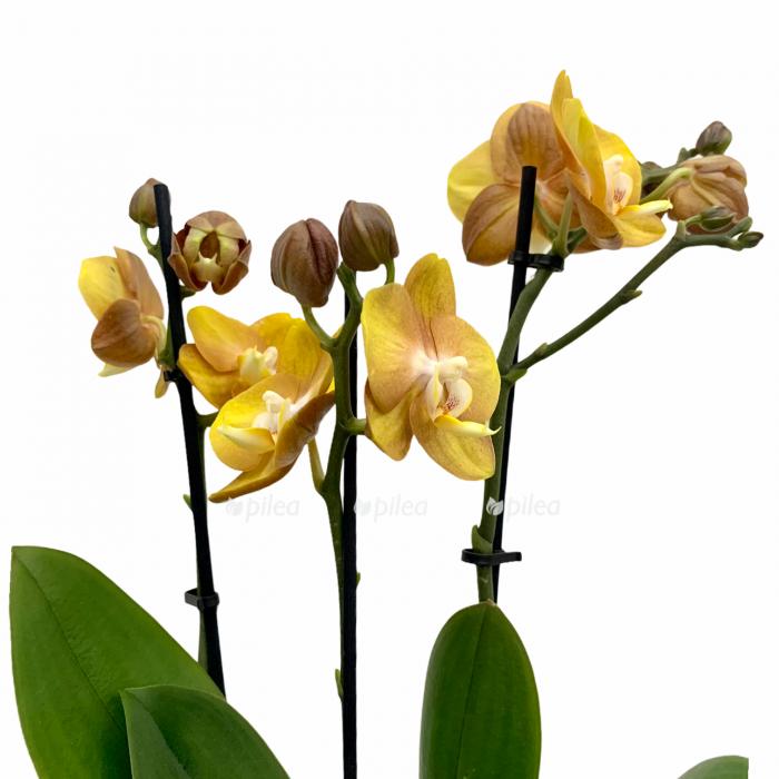 Орхидея Фаленопсис Лас Вегас