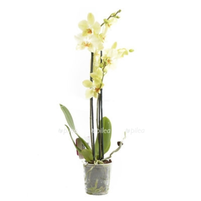 Орхидея Фаленопсис Санни Кизз