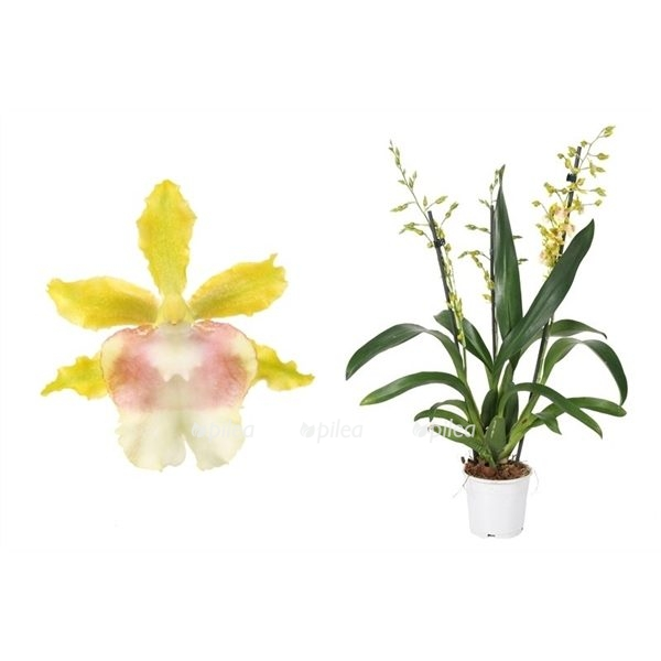Купить Oncidium Pupukea