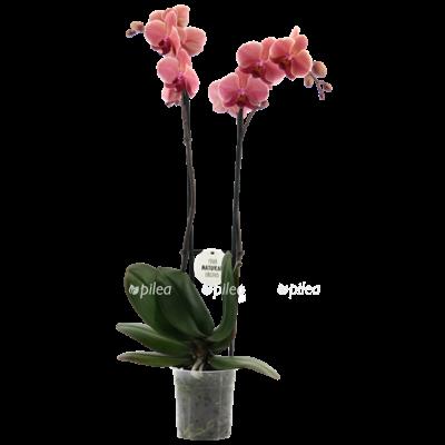 Орхидея Фаленопсис Антура Нарбоне 12/65
