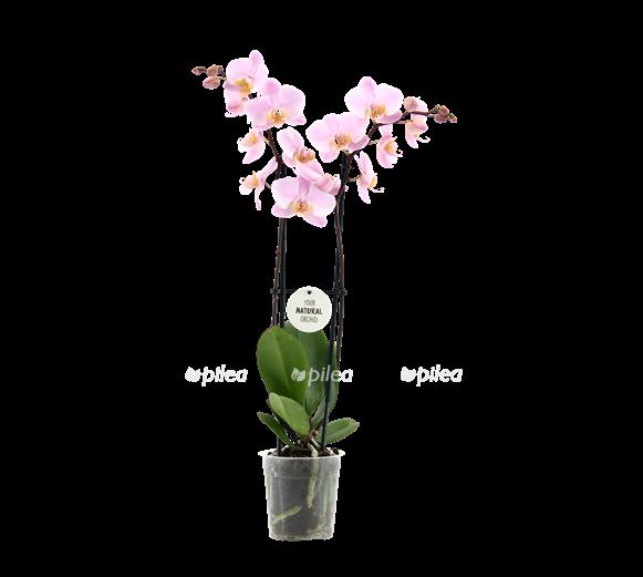 Орхидея Фаленопсис Ченгду 12/65