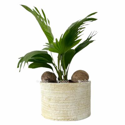 Ливистона Ротундифолия с орехами в керамике