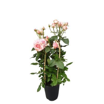 Купить Роза Садовая Микс