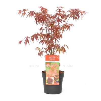 Купить Клён Веерный Атропурпуреум красный