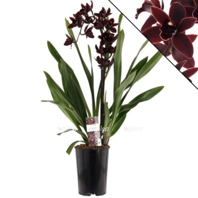 Regbnm Орхидея Цимбидиум Дарк Найт