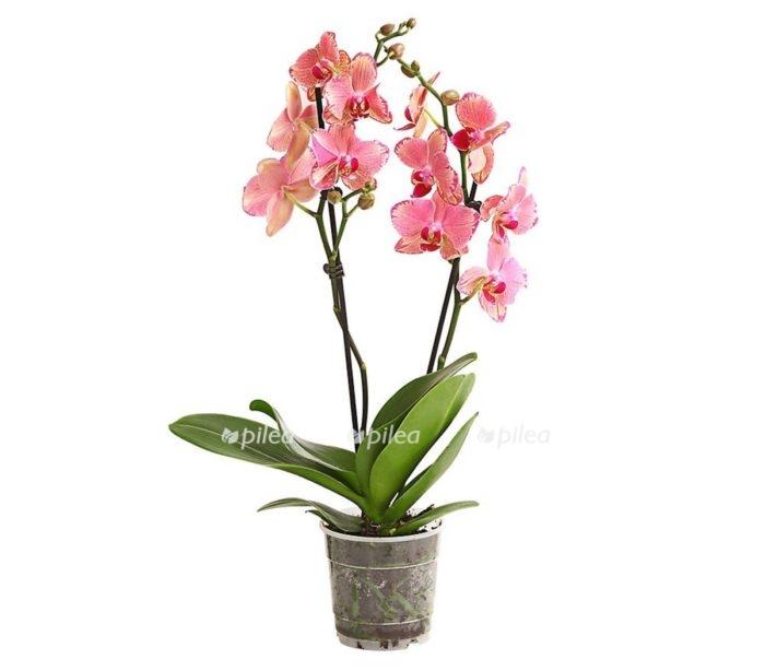 Купить Орхидея Фаленопсис Пирейт Пикоте