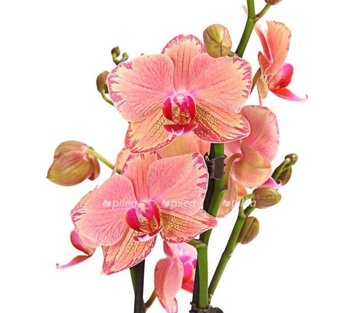 Орхидея Фаленопсис Пирейт Пикоте