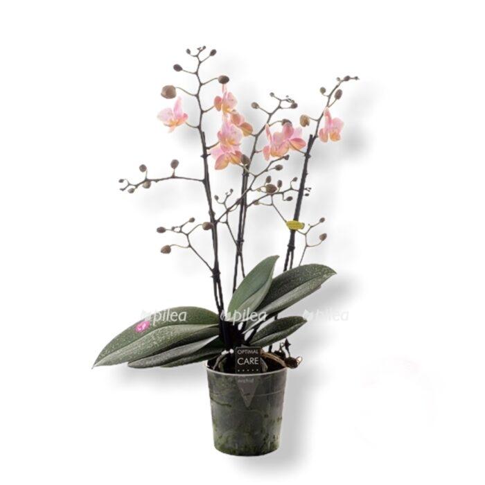 Орхидея Фаленопсис Азиан Парфюм
