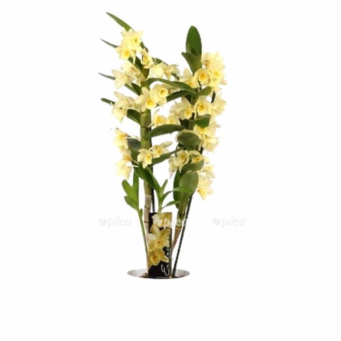 Орхидея Дендробиум Нобиле Желтый