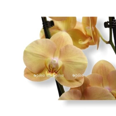 Орхидея Фаленопсис Карина Флоранджери
